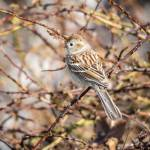 """Field Sparrow"" by WildAboutNaturePhotography"