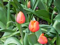 Red flower bulbs