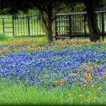 """Bluebonnets And Paintbrushes"" by bettynorthcutt"