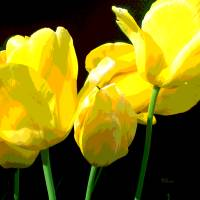 YELLOW TULIPS II Art Prints & Posters by Herb Dickinson