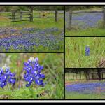 """Texas Bluebonnet Collage"" by bettynorthcutt"