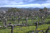 Vines In Winter Napa California(Org)
