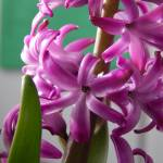 """Purple Hyacinth"" by StephanieBrower"
