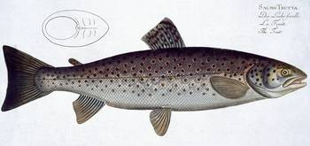 Sea Trout (Salmo Trutta)