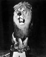 Circus Lion shows he is royality