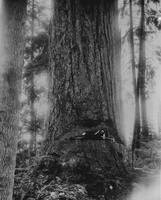 Resting in Redwood