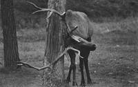 Bull Elk with an Itch