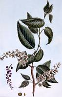 Prunus padus or