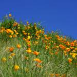 """Poppies Flowers Meadow Photography Art Prints"" by BasleeTroutman"