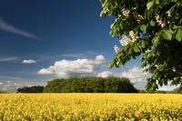 Rapefield and blooming chestnut-tree