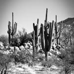 """Catalina Cactus #1"" by lawrencefawcett"