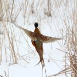 """""""Pheasants"""" by cameragal"""