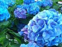 I don't think I've ever seen Hydrangeas this blue