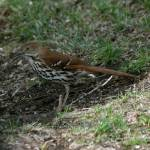 """Brown Thrasher"" by cameragal"