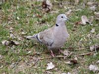 Euarsian Collard Dove