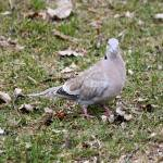 """Euarsian Collard Dove"" by cameragal"