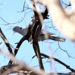 """Euarsian Collard Dove"" by cameragal"
