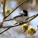 """Black-capped Chickadee"" by cameragal"