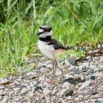 """Killdeer"" by cameragal"