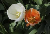 A Pair Of Tulips