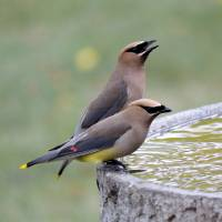 cedar wax wing Art Prints & Posters by Etched Memories Photo - Lori Tordsen