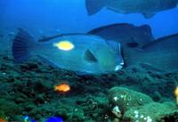 Humpback Parrotfish Close