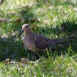 """""""Morning dove"""" by cameragal"""