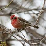 """House finch"" by cameragal"