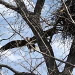 """Bald eagles"" by cameragal"