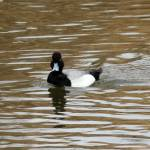 """Lesser Scaup Duck"" by cameragal"