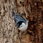 """White-breasted Nuthatch"" by cameragal"