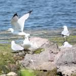 """Ring-billed Gull"" by cameragal"
