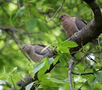 Morning dove pair