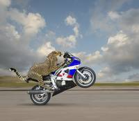 Cheetah-On-A-Motorcycle