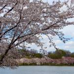 """Cherry Blossom Trees Tidal Basin"" by FlattenPhotography"