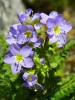 Jacob's Ladder Wildflower Polemonium