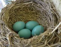 Four Beautiful Robin Eggs