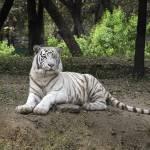 """""""White Bengal tiger 45"""" by unicornorg"""