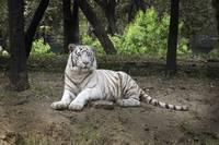 White Bengal tiger 45