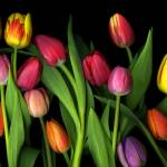 """8900Tulips master master mg423 photoshopped"" by CSlanecPhoto"