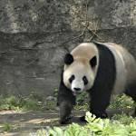 """""""Panda bear"""" by unicornorg"""