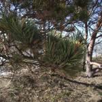 """""""Pine"""" by Jurchx"""