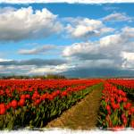 """Red Tulips of Skagit Valley"" by Groecar"