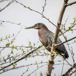 """Green Heron"" by WildAboutNaturePhotography"
