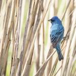 """Indigo Bunting"" by WildAboutNaturePhotography"