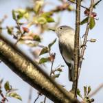 """Blue-gray Gnatcatcher"" by WildAboutNaturePhotography"