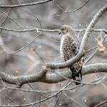 """Broad-winged Hawk"" by WildAboutNaturePhotography"