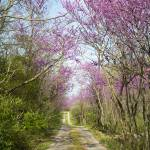 """""""Red Bud Trees"""" by WildAboutNaturePhotography"""