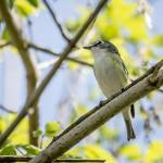 """""""Blue-headed Vireo"""" by WildAboutNaturePhotography"""