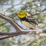"""Black-throated Green Warbler"" by WildAboutNaturePhotography"